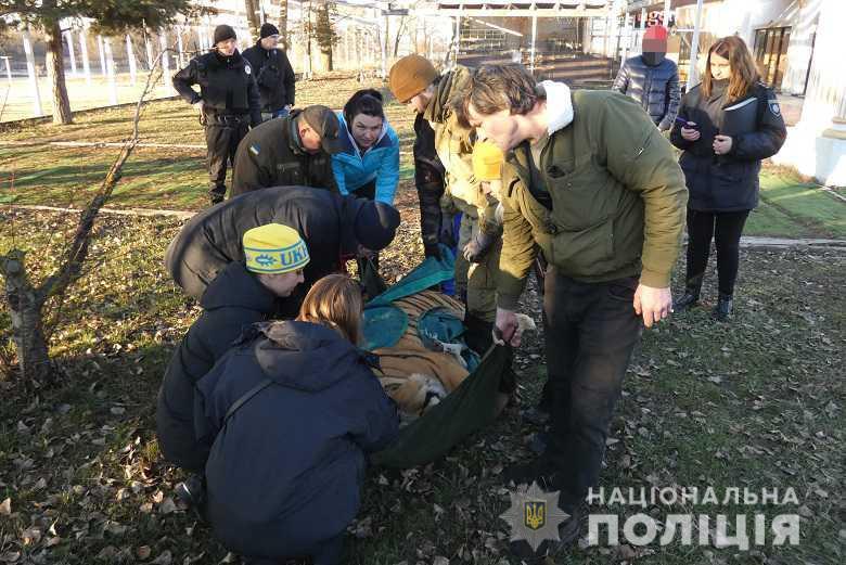 Стала известна судьба киевских беспризорных тигров (ВИДЕО)