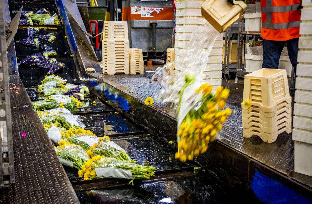 Из-за коронвируса фермеры уничтожают тысячи цветов