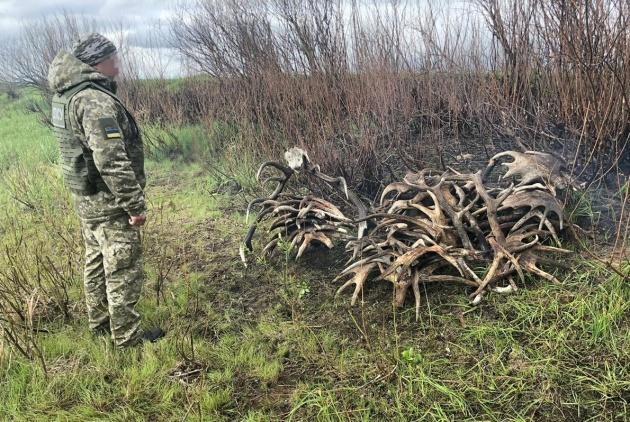 Из Чернобыльской зоны хотели вывезти 150 килограммов рогов
