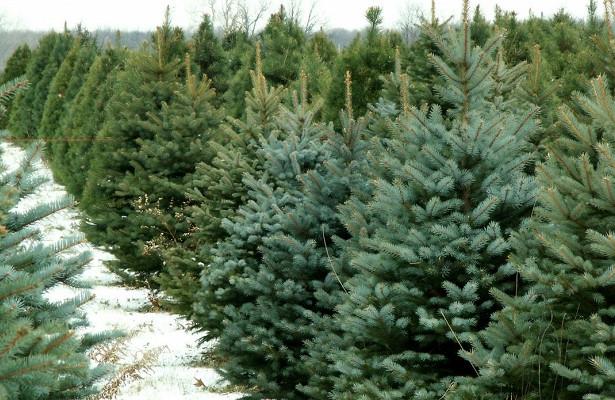 Гослесагентство назвало цены на новогодние елки