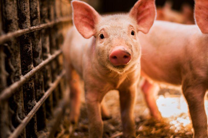 В трех регионах Украины выявили случаи африканской чумы свиней