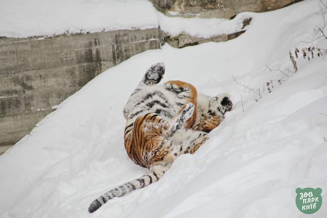 Сотрудники Киевского зоопарка показали, как животные отреагировали на  снегопады